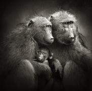 Chacma baboons with baby in rain Stock Photos