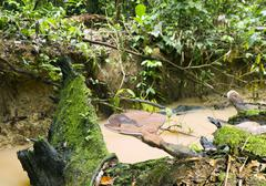 ganoderma fungi growing beside a rainforest stream in ecuador - stock photo