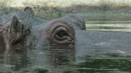 Stock Video Footage of Hippo looks away from camera