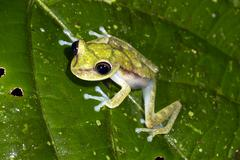 nymph treefrog (hypsiboas nympha) on a leaf in the rainforest understory, ecu - stock photo