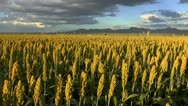 Stock Video Footage of Sorghum Farm Field Scenic