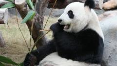 Panda close up Stock Footage