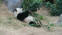 Stock Video Footage of Panda