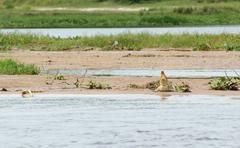 nile crocodile waterside - stock photo