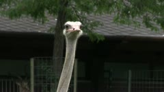 Ostrich looking around Stock Footage