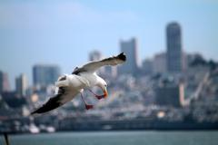 San Francisco Seagull - stock photo