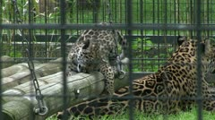 Baby Leopards in cage with mom Stock Footage