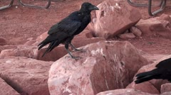 North American Black ravens on the red rock Stock Footage