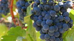 Grapes on the Vine Close Up Stock Footage