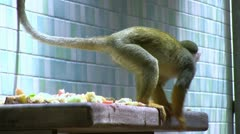 Monkeys eating fruit on ledge Stock Footage