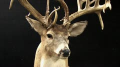 720p Deer Head Taxidermist Stock Footage