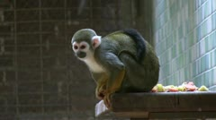 Small monkey eating on ledge Stock Footage
