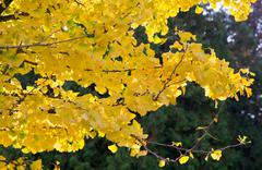 yellow dingo tree - stock photo