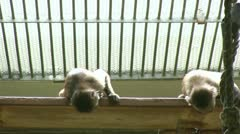 Monkeys on ledge looking down Stock Footage
