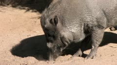 720p Wild Boar Digging in the Dirt Stock Footage