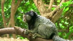 Black-eared Marmoset Stock Footage