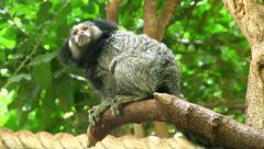 Black-eared Marmoset in tree Stock Footage
