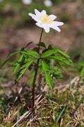 Anemone kasvi valkoinen kukka Kuvituskuvat