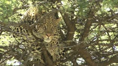 LEOPARD LOOKING FROM TREE Stock Footage