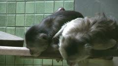 Shy monkeys on ledge Stock Footage