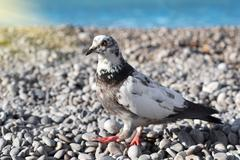 gray pigeon on the stones - stock photo