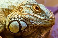 head portrait of a green iguana - stock photo