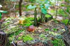 Small bay bolete mushroom (hypholoma fasciculare) on old stub Stock Photos