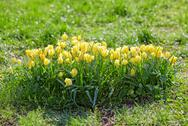 Many small yellow tulips on flower bed Stock Photos