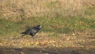 Stock Video Footage of Crows Searching for Nuts in the Grass, Hungry Crows, Autumn Season