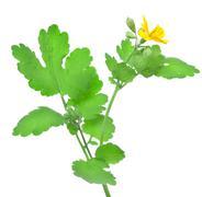 Blooming celandine Stock Photos