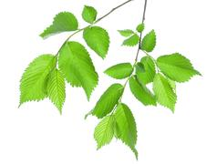 Branch of green leaves isolated Stock Photos