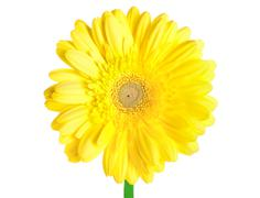 yellow gerbera - stock photo