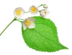 jasmine flowers isolated - stock photo