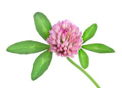 red clover isolated - stock photo