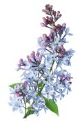 branch lilac - stock photo