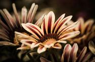 Stock Photo of white and red striped african daisies