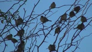 Stock Video Footage of Flock of Flying Sparrows Sitting on Branches of a Tree, Many Birds Standing