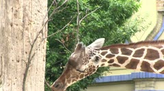 Giraffe chewing on bare limbs Stock Footage