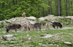 pack of gray wolves - stock photo
