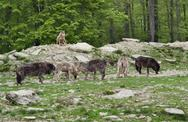 Stock Photo of pack of gray wolves