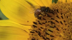 Honey bee working on the sunflower - stock footage