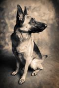 Stock Photo of dog german shepherd