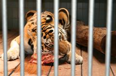 Stock Photo of tiger cage eat meat