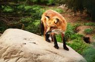 Stock Photo of red fox