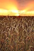 Wheat field crop sunset Stock Photos