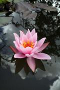 Stock Photo of water lily flower