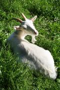 Stock Photo of goat white grass