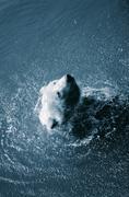 Stock Photo of bear water swim