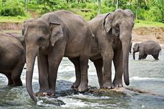 asian elephants - stock photo