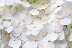 white hydrangea blossoms with dew macro - stock photo